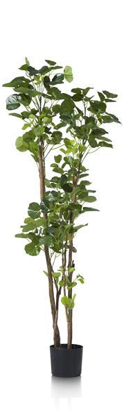 Polyscias Tree - 160 cm