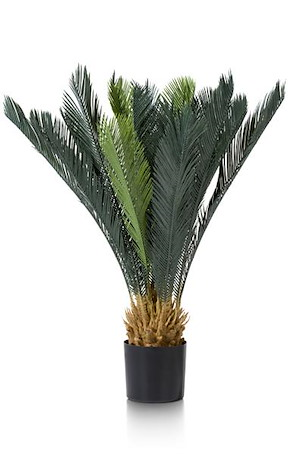 Cycas Revoluta - 90 Cm